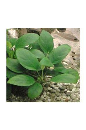 Anubias Nana (live aquarium plant)