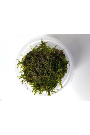 Java Moss in Pot (live aquarium plant)