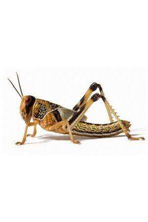 Locusts - Size: Small 10mm to 12mm (approx 20)