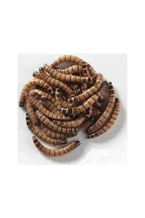 Giant Mealworms (Morio) - 50g