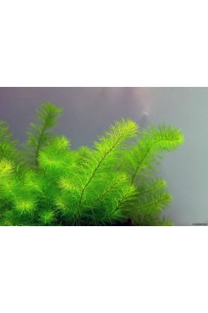 Myriophyllum - Green (Live Aquarium Plant)