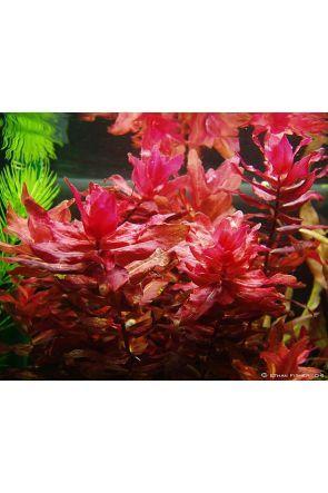 Rotala Macranda Live Aquarium Plant