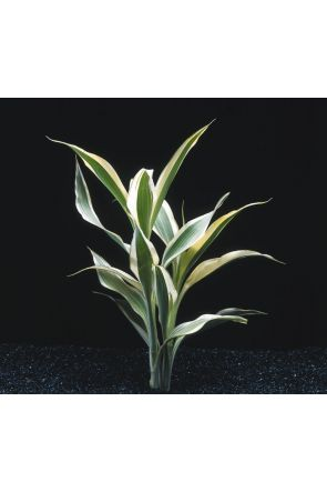 Sanderina - dracena sp. (live aquarium plant)