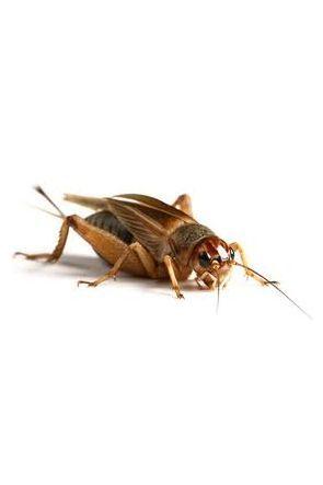 Silent Crickets