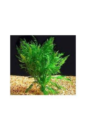 Wistera - hygrophila difformis (live aquarium plant)